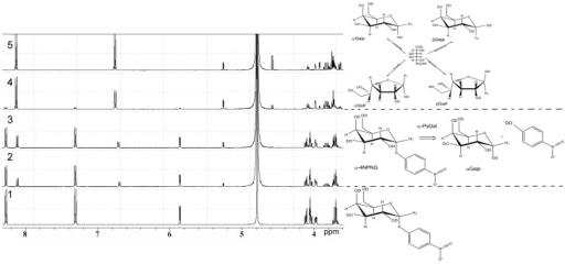 1H NMR analysis of the stereo selectivity for the recombinant α-PsGal catalyzed reaction. One-dimensional 1H NMR spectra of the deuterium-exchanged 4-NPGP prior to enzyme addition, at τ = 0 min (spectrum 1), at τ = 3 min (spectrum 2); at τ = 6 min (spectrum 3); at τ = 24 min (spectrum 4); at τ = 60 min (spectrum 5) after initiation of the reaction. (in 50 mM sodium phosphate buffer pH 7.5, at 20°C, D2O).