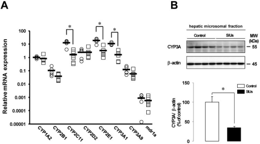 Changes in mRNA expression of CYP and mdr1a and CYP3A protein in the rat liver with INM treatment. Animals were sacrificed 24 h after INM or vehicle administration. (A) Total RNA was extracted from the liver. Expression levels of CYP and mdr1a mRNA were determined by real-time PCR, as described in the Materials and Methods. The data for mRNA expression are expressed as the ratio of the mean value for CYP1A2 mRNA in the liver of the control group. Points represent individual data for the control group (open circles; N = 5) and SIU group (open squares; N = 6), and bars represent the mean value for each group. (B) The protein level of CYP3A was determined by western blot analysis, as described in the Materials and Methods. Densitometric quantification of CYP3A was performed and normalized to those of β-actin as a loading control. Data are presented as the mean values ± standard error for 4 rats per group. White columns represent those in the control group, and black columns represent those in the SIU group. *P < 0.05, statistically significant.