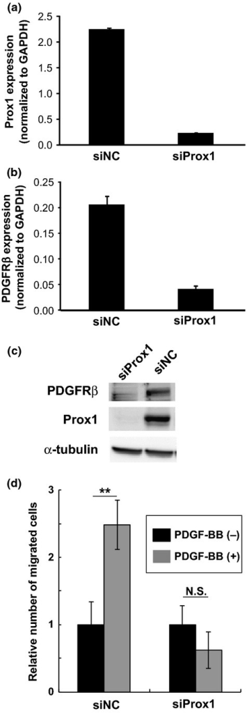 Roles of endogenous Prox1 expression in human dermal lymphatic endothelial cells (HDLECs) in the maintenance of platelet-derived growth factor receptor (PDGFR) β expression and their migration to PDGF-BB. (a, b) HDLECs were transfected with negative control siRNA (siNC) or specific siRNA for Prox1 (siProx1), and were subjected to quantitative RT-PCR analyses for the expression of Prox1 (a) and PDGFRβ (b) and Western blot analysis (c) for PDGFRb (top) and Prox1 (middle) and α-tubulin (bottom). (d) Effects of Prox1 knockdown on the chemotaxis of HDLECs towards PDGF-BB. Cell migration was measured by Boyden chamber. HDLECs were transfected with scrambled siRNAs (siNC) or Prox1 siRNAs (siProx1) and plated on the upper chambers, with PDGF-BB (100 ng/mL) placed in the lower chambers. Results were expressed as the ratio of number of migrated cells normalized to control (no PDGF-BB). Each value represents the mean of triplicate determinations. Error bars represent SD. **P < 0.01. N.S., not significant (evaluated by Student's t-test).