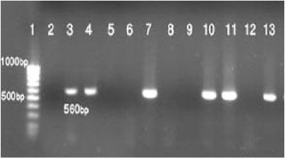 The results of the nested PCR-based amplification of kDNA recovered either from a negative control (lane 2), and the reference samples of Leishmania major (lane 3), or positive and negative smears of liver, spleen, ear, or footpad of Mus musculus (lane 4, 5 and 6), Rattus rattus (lanes 7, 8), Meriones persicus (lanes 9, 10 and 11), and Tatera indica (lanes 12 and 13). Molecular-weight markers were run in lanes 1