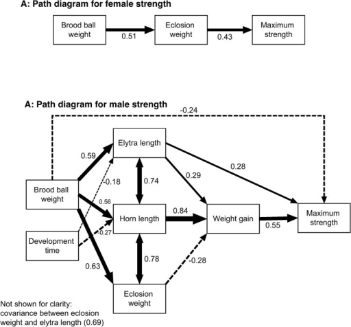 Path diagrams for the final models explaining the relationship between female (A) and male (B) maximum strength and larval nutrition, adult morphology and post-eclosion weight gain.Solid lines indicate positive relationships, dashed lines negative, double headed arrows indicate correlation (i.e. no assumptions about causality) and line width is proportional to the strength of the relationship. Numbers next to arrows indicate regression or correlation coefficients calculated from standardized predictor variables. Haemolymph protein content, overall fat content and adult diet treatment were not retained in either model and so are not shown.