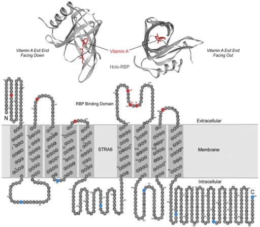 Plasma Retinol Binding Protein And Its Transmembrane Re