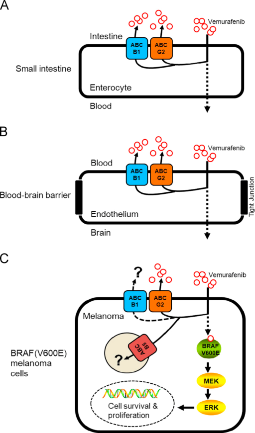 The potential role of multidrug resistance-associated ABC drug transporters in the oral bioavailability, brain penetration and therapeutic efficacy of vemurafenib in melanoma and other cancer cells harboring V600E mutation in BRAF kinase. (A) Highly active ABCB1 and ABCG2 transporters in intestinal epithelial cells can significantly limit the absorption of vemurafenib into the blood stream, reducing its bioavailability. (B) The presence of both ABCB1 and ABCG2 at the blood–brain barrier restricts vemurafenib penetration of the brain, reducing its effectiveness in patients with brain metastatic melanoma. (C) The presence of ABCG2 confers resistance to vemurafenib in BRAF(V600E) mutant A375 melanoma cells. The role of the ABCB5 transporter in melanoma remains to be evaluated.