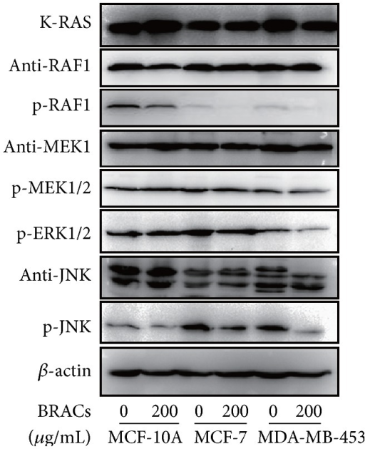 Effects of black rice anthocyanins (BRACs) extracts on phosphorylation of RAS, RAF, MEK, ERK, and JNK. MCF-10A, MCF-7, and MDA-MB-453 cells were treated with BRACs (0 or 200 μg/mL) for 24 h. Phosphorylation of RAF, MEK, ERK, and JNK was analyzed by immunoblotting. Expression of β-actin served as an internal control.