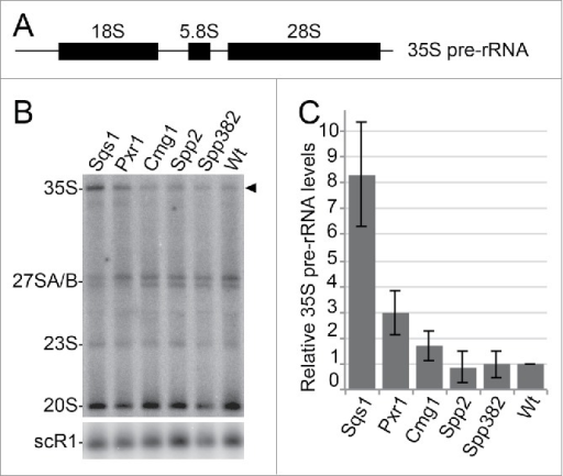 G-patch protein overexpression leads to defects in ribosome biogenesis. (A) Scheme of the 35S pre-rRNA transcript, which contains the sequences of the mature 18S, 5.8S and 25S rRNAs. (B) Total RNA was isolated from yeast cells with or without overexpression of the individual G-patch proteins indicated, RNA was separated by denaturing agarose gel electrophoresis and analyzed by Northern blotting using probes for the detection of rRNA precursors (indicated on the left). The 35S pre-rRNA is marked by an arrowhead. (C) Levels of the 35S rRNA precursor transcript in three independent experiments were quantified, normalized to the scR1 RNA (loading control) and the wildtype, and are presented as mean +/− SEM.
