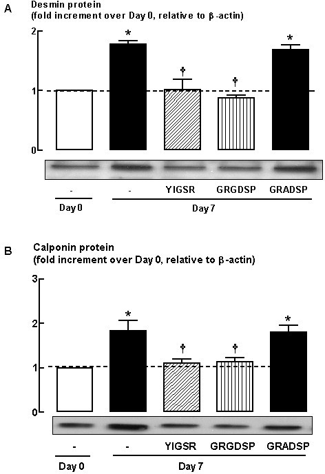 Effect of laminin-competing peptides (YIGSR, 1 μM and GRGDSP, 1 μM) on (A) desmin and (B) calponin protein abundance following 7-day serum deprivation. YIGSR = peptide derived from the amino acid sequence of the β1 chain of the major receptor binding site in laminin; GRGDSP = amino acid sequence within fibronectin and other extracellular proteins that mediates cell attachment; GRADSP = inactive peptide for GRGDSP. Grouped data represent results obtained from three different cultures. * P < 0.05, compared with Day 0; † P < 0.05 compared with Day 7 response in the absence of peptide.