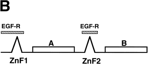 Identification of ZPR1 homologues in mammals and  yeast. (A) The sequence of the S. cerevisiae, S. pombe, and mouse  ZPR1 proteins deduced from the nucleotide sequence of DNA  clones is presented. Residues identical to the sequence of mouse  ZPR1 are indicated with a period (.). Gaps were introduced into  the sequences to optimize the alignment (-). Overline, zinc fingers; asterisks, Cys residues. The sequences of mouse ZPR1, S.  pombe zpr1 and S. cerevisiae ZPR1 have been deposited with  GenBank/EMBL/DDBJ accession numbers U41287, AF019768  and AF019769, respectively. (B) Schematic representation of the  predicted domain structure of ZPR1. The regions required for interaction with the EGF receptor are indicated (EGF-R).
