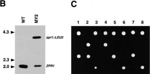 ZPR1 is an essential gene in the yeast S. cerevisiae. (A)  The S. cerevisiae diploid WT strain (CY246) was used to create  the heterozygous strain MY2 (ZPR1/zpr1::LEU2). The structures of the wild-type and disrupted cZPR1 genes are illustrated.  (B) Disruption of one ZPR1 allele was confirmed by Southern  blot analysis of PvuI restricted genomic DNA isolated from the  diploid WT strain CY246 and the heterozygous strain MY2  (ZPR1/zpr1::LEU2). (C) The heterozygous diploid strain MY2  (ZPR1/zpr1::LEU2) was sporulated and eight randomly selected  asci were dissected and examined for viability on YEPD agar  media.