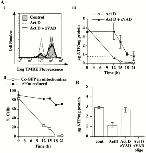 Mitochondria that maintain ΔΨm after cytochrome c release also produce ATP. (A) Cc-GFP-HeLa cells cultured in the absence of glucose for 12–15 h were treated with actinomycin D (1 μM) in the presence or absence of zVADfmk (100 μM). (Ai) After 12 h, the cells were stained with TMRE (50 nM) and analyzed by flow cytometry. Cells treated in the presence of zVADfmk, maintained ΔΨm. (Aii) Similarly treated cells were harvested at the times indicated and percentage of cells with polarized mitochondria, and the percentage of cells that had not released cytochrome c were determined by flow cytometry. (Aiii) Aliquots of cells in Aii were analyzed for total cellular ATP. (B) Cc-GFP-HeLa cells cultured in the absence of glucose for 12–15 h were treated with actinomycin D (1 μM) in the presence or absence of zVADfmk (100 μM). After 12 h, when ∼80% of the cells had released cytochrome c, oligomycin (10 μg/ml) was added to the sample indicated. All cells were harvested 1 h later, and total cellular ATP was measured. Error bars indicate SEM.