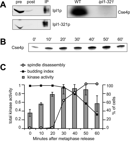 Ipl1p kinase activity increases before spindle disassembly. (A) Ip1lp was immunoprecipitated from a wild-type (SBY3) and a ipl1–321 mutant strain (SBY322) and then incubated with the histone-fold domain of the Cse4 kinetochore protein in a kinase reaction in vitro. The majority of Ipl1p present in the lysates before the immunoprecipitation (pre) was removed (post), and similar amounts of protein were used in the kinase assay (IP). The autoradiogram (right) shows that Cse4p is radiolabeled in the presence of wild-type Ipl1p but not Ipl1–321 mutant protein. (B) pGAL-CDC20 cells expressing Tub1–GFP (SBY952) were synchronized in metaphase by growth in glucose for 3 h. They were then released into galactose medium, and aliquots were taken every 10 min, and kinase assays were performed with the substrate Cse4p in vitro. The autoradiogram shows the phosphate incorporated into Cse4p in one experiment. (C) Microscopy was performed to determine the percent budding (▪) and the percent spindle disassembly (○). The total Ipl1p kinase activity is shown in gray bars (arbitrary units) for three experiments with the standard deviation indicated. Ipl1p kinase activity increases before spindle breakdown.