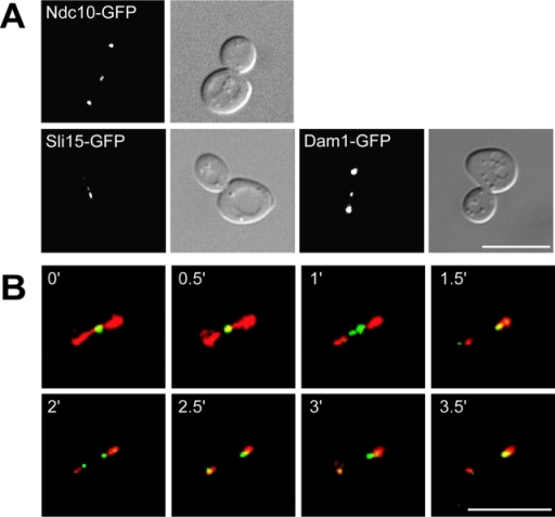 Ipl1p's substrates localize to the spindle midzone, and Ipl1p follows the plus ends of the depolymerizing spindle. (A) Microscopy was performed on strains containing endogenous Ndc10–GFP (SBY539), Sli15–GFP (SBY875), or Dam1–GFP (SBY1115). The fluorescence images show that all three Ipl1p substrates localize to the spindle midzone. The corresponding DIC pictures are shown (right). (B) Live image analysis was performed on cells expressing Ipl1–GFP and Tub1–CFP (SBY1036). Every 30 s, five z sections at 0.5-μm intervals were acquired while alternating between the two channels (FITC and CFP). The deconvolved video shows tubulin in red, Ipl1p in green, and the overlapping signal in yellow. Before spindle disassembly, Ipl1p localizes to the spindle midzone (0'). When the spindle starts breaking down (1'), the Ipl1p signal splits and then follows the plus ends of the depolymerizing spindle (2') until it reaches the spindle poles (3.5′). Video 3 showing Ipl1p localization is available at http://www.jcb.org/cgi/content/full/jcb.200209018/DC1. Bars, 10 μm.