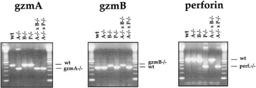 Analysis of wild-type (C57BL/ 6) and the mutant mice gzmA−/−, gzmB−/−,  gzmA×B−/−, and perforin−/− mice by  PCR. Tail DNA from individual mice was  analyzed by PCR amplification using the  gzmA-, gzmB-, and perforin-specific primer  pairs, as indicated in Materials and Methods.