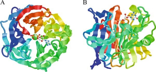 Structure of the human calcium activated nucleotidase in complex with the GMP-CP substrate analog. Ribbon diagrams of the human protein β-propeller structure as viewed along (A) or perpendicular to (B) the central tunnel. The polypeptide is colored from blue at the C-terminus through to red at the C-terminus. The structure reveals an unusual five-bladed β-propeller with five twisted β-sheets, each formed from four antiparallel β-strands. The interface between neighboring blades is predominantly hydrophobic, with residues on the adjacent faces of the β-sheets in van der Waals contact. The Ca2+ ion (green sphere) is located at the middle of the central tunnel. The GMP-CP molecule is shown in a ball-and-stick representation (CPK color scheme). The propeller has an approximate diameter of 44 Å and height of 30 Å. The atomic coordinates are available at the Protein Data Bank (PDB code 1S1D). Reprinted from Cell, Vol. 116, Dai et al., Structure and Protein Design of a Human Platelet Function Inhibitor, pp 649–659, Copyright (2004), with permission from Elsevier.