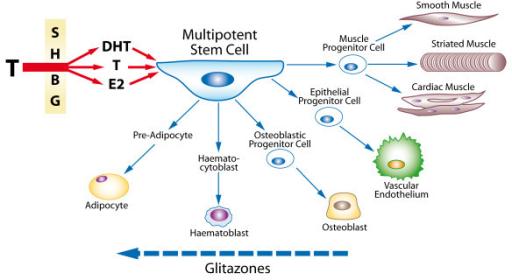 What is sex hormone binding globulin pic 37