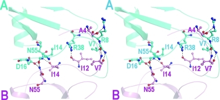 Stereo representation of the hydrogen bonds formed at the A–B interface. Residues from molecule A are shown in blue and those from molecule B in pink.