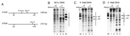 Nucleosome positioning properties of two SNR6 halves are different. (A) Schematic representation of the selected gene regions PCR-amplified from pCS6 and cloned into a plasmid along with their names and sizes is given. (B), (C) and (D) Indirect end-labeling analysis of the chromatin assembled over the plasmids 601c, 5' half and 3' half respectively. Arrows mark the positions of the genomic DNA ends while ovals mark the positioned nucleosomes. Lanes 1 and 2 show digestion pattern of naked DNA N, while digestion pattern of the chromatin samples C are shown in the lanes 3 and 4 in each panel. Probe was same as that in the Figure 1C while lane M shows molecular size markers.