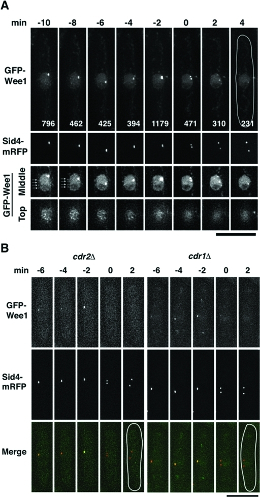 Regulation of Wee1 localization and activity by Cdr2–Cdr1 is not required for Wee1 accumulation at the SPB during the G2/M transition. (A) Levels of Wee1 localized to the cortical nodes decrease before Wee1 accumulation at the SPB. GFP–Wee1 was overproduced in the absence of thiamine using a thiamine-repressive promoter (P81nmt1) at 30ºC for 20 h. The first and second rows of the panels show live images projected from 14 Z-sections 10 min before SPB separation through 4 min after SPB separation. The maximum GFP intensity at the SPB is labeled at each time point. The third and fourth rows of the panels show images from the top and the middle Z-sections. Arrows indicate GFP–Wee1 localized to the cortical nodes. (B) Wee1 accumulates at the SPB during the G2/M transition in cdr2 deletion and cdr1 deletion cells. Live images of a cdr2 deletion and a cdr1 deletion cell expressing GFP–Wee1 and Sid4–mRFP are shown from 6 min before SPB separation through 2 min after SPB separation. Bars, 10 μm.