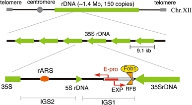 Structure of the budding yeast rDNA locus. The rDNA is a tandem repeating array on chromosome XII. A repeating unit (9.1 kb) has 5S and 35S rRNA genes and two intergenic spacer regions (IGS1, 2). rARS and RFB are the replication origin and replication fork barrier site, respectively. EXP (~500 bp) is an expansion sequence that contains RFB and E-pro. E-pro is a bidirectional promoter for non-coding transcripts that function in the regulation of rDNA repeat numbers. The rDNA structure is broadly conserved from yeast to human, though in the human genome the 5S rDNA is found in independent arrays