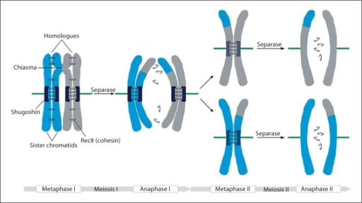 Sister Chromatids And Homologous Chromosomes