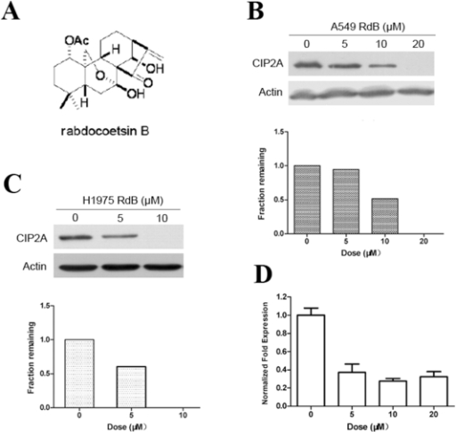 Rabdocoetsin B induces down-regulation of CIP2A.(A): Structure of rabdocoetsin B. (B): A549 cells were treated with rabdocoetsin B (RdB) at various concentrations for 48 h. Western blots were used to detect the expression of CIP2A protein (upper panel) and CIP2A protein expression were quantified and normalized against β-actin expression (lower panel) (C): H1975 cells were treated with rabdocoetsin B at various concentrations for 24 h. Western blots were used to detect the expression of CIP2A protein (upper panel) and CIP2A protein expression were quantified and normalized against β-actin expression (lower panel) (D): A549 cells were treated with rabdocoetsin B at various concentrations for 48 h, and the mRNA expression of CIP2A was analyzed using real-time RT-PCR.