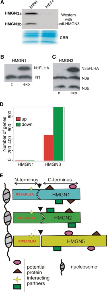 Effect of HMGN1 and HMGN3a on transcription in MIN6 cells. (A) Comparison of the protein levels of HMGN3 and HMGN1 in MIN6 and MEFs by western blot. CBB, Coomassie Blue staining. Western blot analysis of MIN6 cell lines stably expressing HMGN1 (B) or HMGN3a (C) proteins. Endogenous and exogenous FLAG and HA tagged (FLHA) proteins are indicated. c, control infection with empty virus; exp, experimental infection with indicated protein. The graph (D) represents the number of genes changed following overexpression of HMGN1 and HMGN3a proteins compared with the control empty vector expression. (E) Model for structural specificity of individual HMGN proteins. HMGN proteins consist of a conserved N-terminal region, which contains the NBD and the conserved octapeptide, RRSARLSA and a C-terminal region with a more variable sequence. The N- and C-terminal regions of each HMGN variant fit to give the specific property of each variant. Arrow marks the hypothetical connection between N- and C-regions; the geometry indicates unique combination of regions in each HMGN protein. Both the N- and the C-terminal regions interact with various protein partners. Some partners are shared between all HMGNs, whereas others are specific to individual proteins. Combinations of different interacting proteins will define the properties of each HMGN protein and its ability to affect chromatin architecture and transcription.