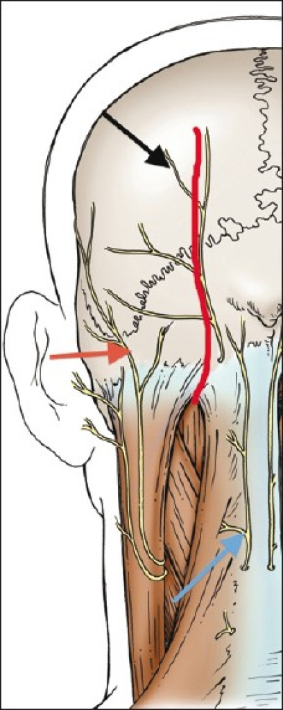 Posterior schematic view of the left occipital and neck | Open-i