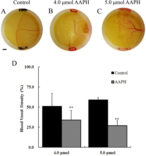 Effects of AAPH on yolk-sac blood vessels of chick embryo.(A) Representative appearance of yolk-sac blood vessels of HH 18 embryo treated with saline, (B) 4 µmol AAPH and (C) 5 µmol AAPH for 12 hours. The silastic rings in A–C had inside diameter at 9 mm and outside diameter at 11 mm. The yolk-sac blood vessel images were taken by a stereomicroscope (Olympus MVX10 with OPTPRO 2007 image acquisition system) with resolution ratio at 1024×768 (Scale bar = 1 mm). (D) Statistical chart showing the yolk-sac blood vessel density from AAPH treated and untreated embryos. The results represent the mean ± S.D (n = 10). Statistical significances were determined using SPSS13.5 software, **p<0.01 compared with control group.