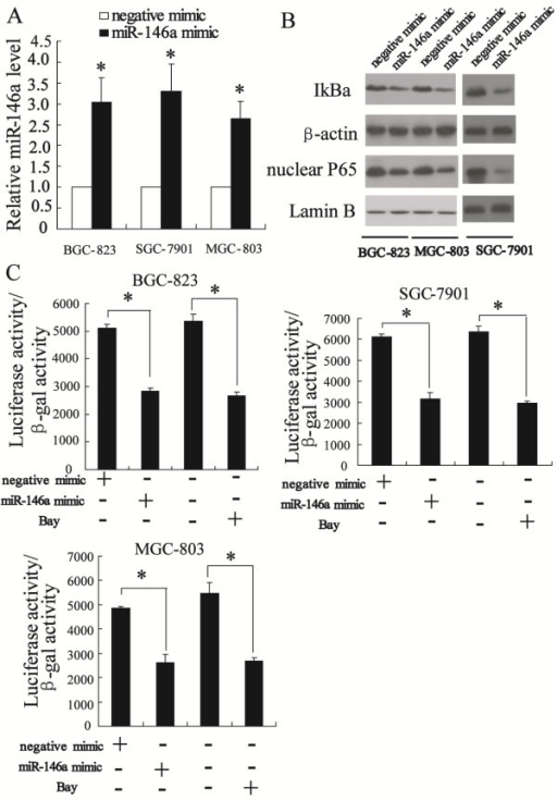 Up-regulation of miR-146a expression can inhibit NF-κB activity in BGC-823, SGC-7901 and MGC-803 cells. The real-time PCR revealed that miR-146a mimic significantly increased the expression of miR-146a (A). Western blot showed that transfected miR-146a mimic decreased phosphorylation of IκB and nuclear p65 level (B). The luciferase reporter assay revealed that transfected miR-146a mimc significantly repressed NF-κB transcriptional activity (C). *P < 0.05, indicate significant differences from the respective control groups.