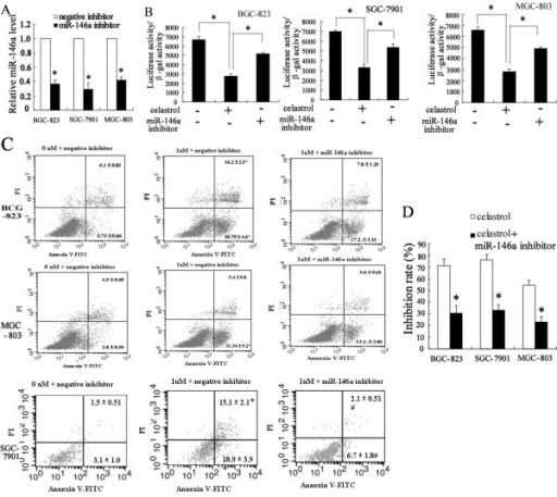Down-expression of miR-146a can reverse the effect of celastrol on NF-κB activity and apoptosis. The real-time PCR revealed that miR-146a inhibitor can significantly decrease the expression of miR-146a in BGC-823, SGC-7901 and MGC-803 cells (A). After transfected with 100 nmol/L of miR-146a inhibitor, the cells were treated with 2 μM celastrol for 6 h. miR-146a inhibitor significantly increased NF-κB transcriptional activity in BGC-823, SGC-7901 and MGC-803 cells after celastrol treatment (B). Flow-cytometric analysis showed that miR-146a inhibitor significantly decreased the apoptosis of BGC-823, SGC-7901 and MGC-803 cells induced with celastrol (C). After transfected with 100 nmol/L of miR-146a inhibitor, the cells were treated with 2 μM celastrol for 72 h. MTT revealed that miR-146a inhibitor significantly decreased the effect of celastrol on inhibition of BGC-823, SGC-7901 and MGC-803 cells growth (D). *P < 0.05, indicate significant differences from the respective control groups.