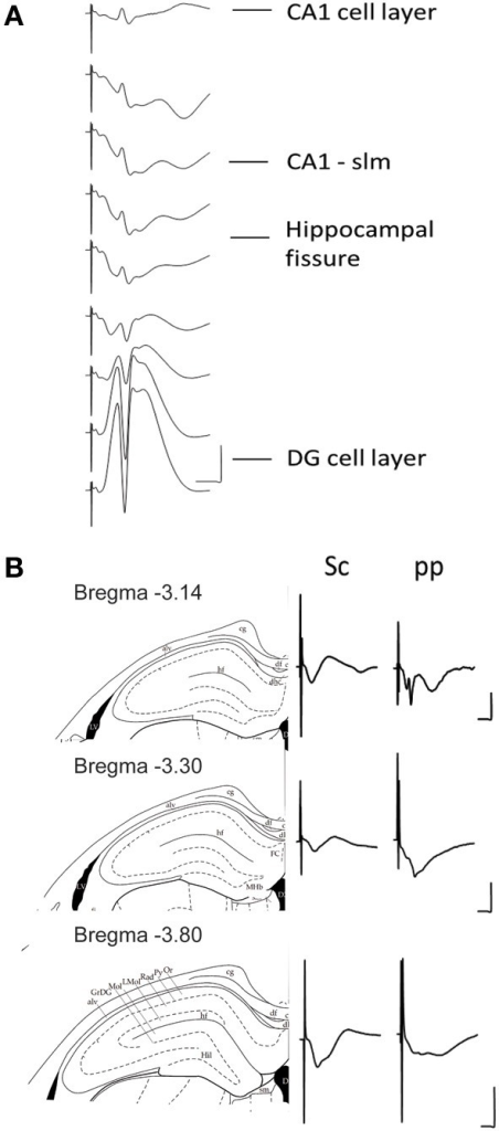 "(A) Depth profile of evoked potentials as a result of perforant path stimulation. Example of typical field responses in vivo evoked by perforant path stimulation. The recordings started at the granule cell layer of the dentate gyrus (DG). The depth was decreased stepwise at 5 min intervals progressing ""backwards"" to the CA1 region. The distance between each representative recording was 160 μm. The stimulation intensity for all recordings was 200 μ A. Vertical scale bar: 5 mV, horizontal scale bar: 3 ms. (B) Evoked potentials at the CA1-stratum lacunosum moleculare synapse in response to Schaffer collateral and perforant path stimulation. Examples of typically evoked responses in vivo at the CA1-slm as a result of Schaffer collateral (analogs on the left) and perforant path stimulation (analogs traces on the right) at three different anterioposterior coordinates. The diagrams to the left of the analog traces represent coronal sections of hippocampal formation −3.14 mm (Top), −3.30 mm (middle), and −3.80 mm (bottom) from bregma (Paxinos and Watson, 1998). The histological examination of the recording site was depicted as a dot on the corresponding slide (Paxinos and Watson, 1998). All of the recordings were taken from freely behaving rats. The stimulation intensity for all recordings was 200 μ A. Vertical scale bar: 5 mV, horizontal scale bar: 5 ms for all traces. alv, alveus of the hippocampus; cg, cingulum; df, dorsal fornix; FC, fasciola cinereun; GrDG, granular layer of the dentate gyrus; hf, hippocampal fissure; Hil, hilus of the dentate gyrus; LMol, lacunosum moleculare layer of the hippocampus; Mol, molecular layer of the dentate gyrus; Or, oriens layer of the hippocampus; Py, pyramidal cell layer of the hippocampus; Rad, stratum radiatum of the hippocampus."