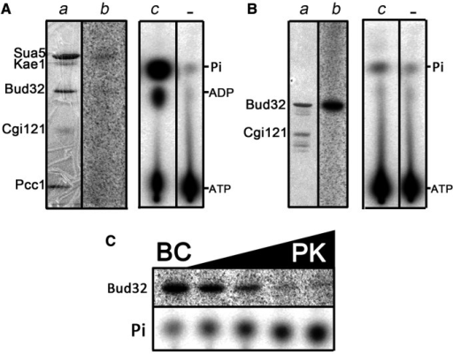 Analysis of ATPase and protein kinase activity of Bud32. (A) As a part of the KEOPS complex, Bud32 does not exhibit a significant protein kinase activity. Sua5 and the KEOPS complex were incubated under standard t6A assay conditions in presence of γ-P32 ATP (see Materials and Methods). The reaction mixture was analyzed by SDS-PAGE (part a), and the radioactivity retained by the proteins was recorded by phosphorimaging (part b). The same reaction mixture (part c) and a negative control lacking proteins (part -) was analyzed by TLC. The radioactive spots correspond to different nucleotides and free inorganic phosphate, as indicated. (B) Bud32 exhibits autophosphorylation activity in presence of Cgi121. The Bud32–Cgi121 binary complex was incubated in presence of γ-P32 ATP under standard t6A assay conditions, except that tRNA was omitted in the assay. The reaction mixture was analyzed by SDS-PAGE (part a), and the radioactivity retained by the proteins was recorded by phosphorimaging (part b). An aliquot of the reaction mixture (part c) and a negative control lacking proteins (part -) was analyzed by TLC. (C) Bud32 phosphotransferase activity is switched off in presence of Kae1. The Bud32–Cgi121 complex was incubated in presence of γ-P32 ATP under standard t6A assay conditions, except that tRNA was omitted in the assay. Reaction mixtures contained Bud32–Cgi121 (BC) alone (leftmost sample) or BC mixed with increasing concentrations of Pcc1–Kae1 (PK). In the rightmost sample, PK and BC subcomplexes were present in the reaction mixture in equimolar amounts. The reaction mixtures were analyzed by SDS-PAGE, and the radioactivity retained by the proteins was recorded by phosphorimaging (upper panel). The production of free inorganic phosphate for each reaction mixture was monitored by TLC analysis (lower panel).
