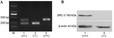 Expression of SRC-3 protein in BM-nucleated murine cells. (A) Confirmation of genotype in SRC-3 mutant mice. Lane M, DNA molecular size marker; lane 1, tail DNA of SRC-3+/− mice with mixture of three primers and bands at 450 and 230 bp indicate the heterozygote; lane 2, tail DNA of SRC-3−/− mice with a mixture of primers 1 and 3, with the 230 bp band indicating the knockout (SRC-3−/−) mice; lane 3, tail DNA of SRC-3+/+ mice with a mixture of primer 1 plus primer 2, with the 450 bp band indicating wild-type (SRC-3+/+) mice. (B) Differential expression of SRC-3 protein in BM-nuclear cells of SRC-3+/+ and SRC-3−/− mice. SRC-3, steroid receptor coactivator-3; BM, bone marrow.