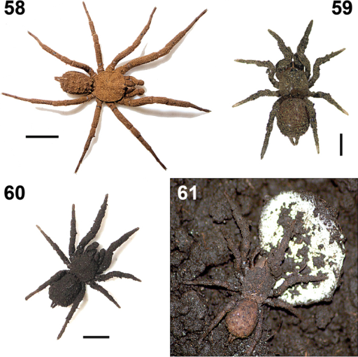 Paratropis tuxtlensis sp. n. Photographs of live specimens, kept in the laboratory 58 Adult male 59 Immature specimen 60 Adult female 61 Adult female protecting her egg sac. Scales: 1 mm (Figure 59), 4 mm (Figure 58), 6 mm (Figure 60).