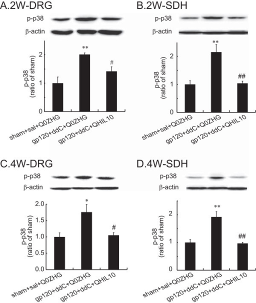 The effect of IL-10 mediated by the HSV vectors on the expression of p-p38 in the DRG and the SDH at 2 or 4 weeks. Rats with neuropathic pain were inoculated with QHIL10 or Q0ZHG 1 week post gp120 application with ddC. In the control group, rats received the sham surgery with saline IP injection and Q0ZHG (sham + sal + Q0ZHG). (A and B) Two weeks post vector injection, the L4/5 DRG (A) and the SDH (B) were harvested, and the expression of p-p38 was tested using western blots. The data were analyzed using one way ANOVA with post hoc PLSD test, mean ± SEM, **P < 0.01 vs. control group, # P < 0.05, ## P < 0.01 vs gp120 + ddC + Q0ZHG, n = 4 rats. (C and D) Four weeks post vector injection, the L4/5 DRG (C) and the SDH (D) were harvested, and the expression of p-p38 was tested using western blots. The data were analyzed using one way ANOVA with post hoc PLSD test, mean ± SEM, *P < 0.05, **P < 0.01 vs. control, # P < 0.05, ## P < 0.01 vs gp120 + ddC + Q0ZHG, n = 4 rats.