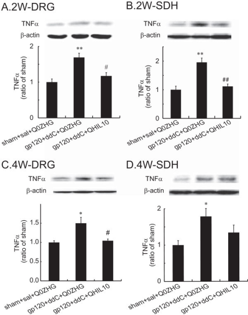 The effect of IL-10 mediated by the HSV vectors on the expression of TNFα in the DRG and the SDH at 2 or 4 weeks. Rats with neuropathic pain were inoculated with QHIL10 or Q0ZHG 1 week post gp120 with ddC. In the control group, rats received the sham surgery with saline IP injection and Q0ZHG (sham + sal + Q0ZHG). The data were analyzed using one way ANOVA with post hoc PLSD test, mean ± SEM. (A and B) Two weeks post vector injection, the L4/5 DRG (A) and the SDH (B) were harvested, and the expression of TNFα was tested using western blots. ** P < 0.01 vs. control, # P < 0.05, ## P < 0.01 vs gp120 + ddC + Q0ZHG, n = 4 rats. (C and D) Four weeks post vector injection, the L4/5 DRG (C) and the SDH (D) were harvested, and the expression of TNFα was tested using western blots. *P < 0.05 vs. control, # P < 0.05 vs gp120 + ddC + Q0ZHG, n = 4 rats.