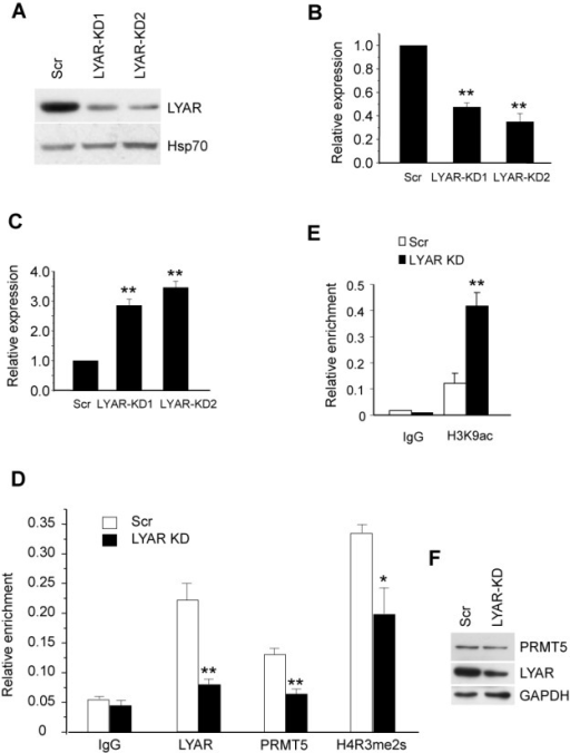 LYAR represses γ-globin gene expression in K562 cells. (A) Western blot analysis with indicated antibodies of cell lysate from LYAR-knockdown 1 (KD1) and LYAR-knockdown 2 (KD2) or scrambled (Scr) control K562 cells. (B) LYAR gene expression analysis by Q-RT-PCR of RNA extracted from LYAR-KD1, LYAR-KD2 and scrambled control (Scr) K562 cells normalized to β-actin mRNA. Results are shown as mean ± SD from three independent experiments. (C) γ-globin gene expression analysis by Q-RT-PCR of RNA extracted from LYAR-KD1, LYAR-KD2 and scrambled control (Scr) K562 cells normalized to β-actin mRNA. Results are shown as mean ± SD from three independent experiments. (D) LYAR, PRMT5 and histone H4R3me2s ChIP analyses at the γ-globin promoter were performed in Scr or LYAR-knockdown (KD) K562 cells. Results are shown as mean ± SD from three independent experiments. (E) Histone H3K9ac ChIP analysis as in D. *P< 0.05, **P< 0.01 compared to the scrambled control. (F) Western blot analysis of LYAR and PRMT5 from cell lysates of LYAR-KD and Scramble K562 cells.