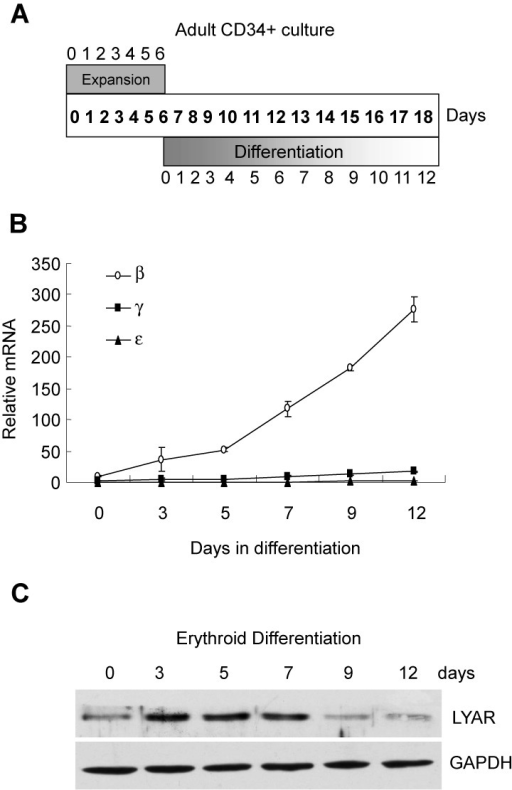 LYAR protein levels and human globin gene expression during erythroid cell differentiation. (A) Schematic diagram of ex vivo differentiation culture system showing days of expansion and differentiation phases. (B) Human ϵ-, γ- and β-globin mRNA levels normalized against GAPDH were detected by quantitative RT-PCR in erythroid cells at indicated days of differentiation. (C) Western blot analysis of LYAR and GAPDH from cell lysates of erythroid cells at indicated days of differentiation.