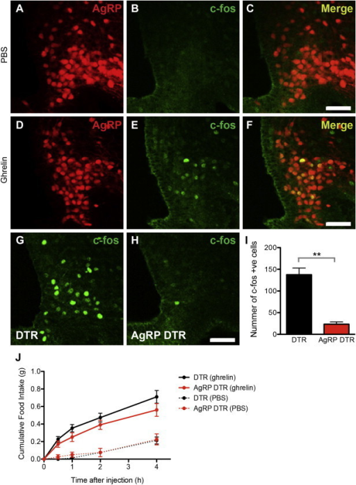 Response of AgRP DTR animals to ghrelin. (A–F) cfos expression in the arcuate nucleus was mainly colocalized to AgRp neurons after ghrelin injection. (G–I) cfos immunostaining in the arcuate nucleus after ghrelin injection in DTR vs. AgRP DTR animals (DTR 137.5 ± 15.39 vs AgRP DTR 23.33 ± 5.365, p < 0.01). n = 4 in each group (J) Food intake of DTR and AgRP DTR animals after either PBS or ghrelin injection. n ≥ 8 in each group. Scale bar = 50 μm.