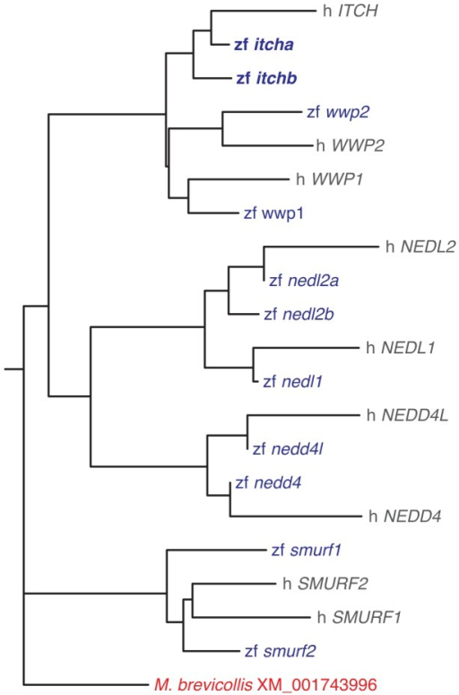 Phylogenetic tree of human and zebrafish members of the CWH family of E3s.Two zebrafish sequences cluster with the human ITCH gene. The tree was constructed with the neighbor-joining method supported by 1000 bootstraps. Sequences used in the phylogenetic analysis are given in Table S1.