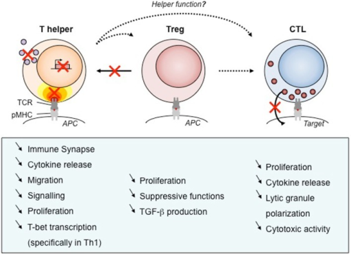Defects of T cell subsets and link to clinical manifestations. As WASP is required for many functions, its absence results in defects of cellular function. We have listed those impairments for human T cell subsets that have been described in the literature. Black arrows show the function exerted by each T cell types, with dotted arrows to point out unknown WASP implication. Red crosses point out the most prominent impairments described in WAS T cells. APC, antigen-presenting cell; pMHC, peptide/major histocompatibility complex; TCR, T-cell receptor, TGF-β, transforming growth factor β.