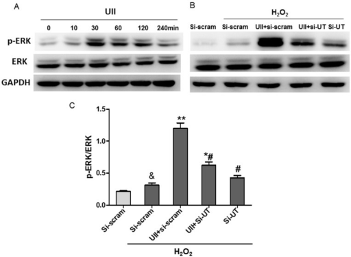 UII promotes the activation of ERK in cultured cardiomyocytes exposed to H2O2. (A) Western blot analysis of p-ERK level in cultured cardiomyocytes treated with UII at different time points (0, 10, 30, 60, 120, 240 min); (B) Western blot analysis of p-ERK level in cardiomyocytes; (C) Quantitative analysis of p-ERK/ERK level in cultured cardiomyocytes. Cardiomyocytes were transfected with si-UT or siRNA-scramble for 48 h, then treated with UII (0.1 μM) or PBS for 30 min and exposed to 100 μM H2O2 for 10 min. si-UT: CMs were transfected with siRNA-UT, other CMs were transfected with siRNA-scramble (si-scram) as control. Values are mean ± SEM. &p < 0.05 vs. PBS group. *p < 0.05, **p < 0.01 vs. H2O2 group; #p < 0.05 vs. H2O2 + UII group. All experiments were repeated independently at least three times.