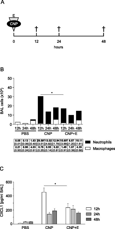 Ectoine application reduces neutrophilic lung inflammation induced by CNP in Balb/c mice. a Experimental design, animals (n = 5) were exposed to PBS (control), 2.5 mg/kg CNP, or 2.5 mg/kg CNP with 1 mM ectoine (E) and subsequently sacrificed at the indicate time points. b Differential cell numbers in BAL (means, SEM). c CXCL1 levels in BAL. * significant differences were observed in total cell numbers, neutrophil numbers and CXCL1 levels (p < 0.05, Mann Whitney U-test)