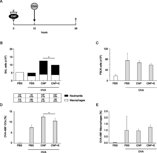 Ectoine application reduces the frequency of antigen loaded dendritic cells in lymph nodes. a Animals (n = 3 in control groups, n = 8 in exposure groups) were exposed to 50 μg Alexa Fluor 488-labelled OVA 12 h after the application of PBS (control), CNP, or CNP + E. In order to control for effects of labelled OVA, an additional PBS group without OVA was employed. b BAL cell numbers (means, SEM) 36 h after initial treatment. c Total lymph node cells. d Percentage of OVA-488 positive dendritic cells (MHCII+, CD11c+). e. Percentage of OVA-488 positive macrophages (MHCII+, F4/80+). *significant differences were observed in total cell numbers, neutrophil numbers, and percentage of OVA-488 positive dendritic cells (p < 0.05, Mann Whitney U-test)