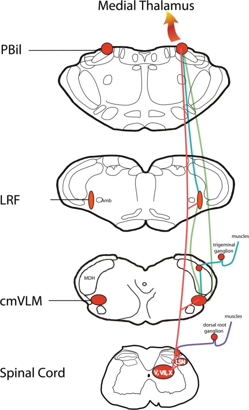 Summary diagram illustrating the multisynaptic spinoreticulothalamic tract.Data that provide components of this tract were garnered from several independent neuroanatomical studies including primary afferent projections of the GCM to lumbar spinal cord (purple lines; [34]) projections from the cmVLM (green lines; [28]), projections from the LRF (blue lines; [29]), and the data presented herein (red lines). We propose this multisynaptic pathway utilizes mostly very small fibers and is important for diffuse deep pain, including that from both muscles and viscera. We also suggest all central neurons part of this system will have very large receptive fields and respond to various multimodal stimuli. Although the multisynaptic path is drawn on the right side only, the projections from all sources are bilateral.