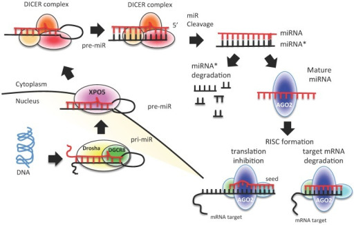 "miRNA biogenesis process. A schematic representation of canonical miRNA biogenesis pathway. Each miRNA is transcribed by RNA polymerase II (pri-miRNA) from genomic DNA within the nucleus; pri-miRNA is recognized by Drosha-DGCR8 and processed to pre-miRNA. Pre-miRNA is exported to the cytoplasm by exportin 5 (XPO5), where it is processed and cleaved by DICER complex to a double strand miRNA (miRNA*-miRNA). The duplex is cleaved, and only the mature miRNA is loaded into the RISC complex. The degree of homology of the miRNA ""seed"" to the 3′ UTR target sequence of the mRNA determines the mRNA translational repression or degradation."