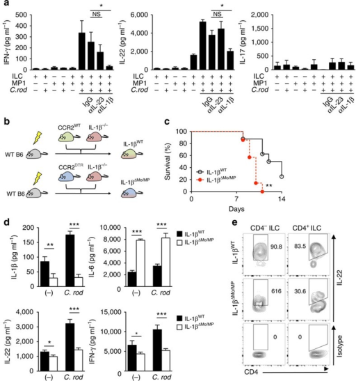 Activation of RORγt+ ILCs requires IL-1β produced by monocyte-derived intestinal macrophages during C. rodentium (C. rod) infection.(a) CD3-RORγt+ ILCs from uninfected RORγtGFP/+ reporter mice and MP1 cells from C. rodentium-infected CD115GFP were isolated. ILCs and MP1 cells (1 × 106 cells per ml) were cultured alone or co-cultured with or without stimulation with heat-killed C. rodentium (MOI=10) for 24 h. Neutralizing antibodies for IL-23 (10 μg ml−1), IL-1β (10 μg ml−1), or isotype controls were used to block cytokines. Data are given as mean±s.d. (n=4). *P<0.05; NS, not significant by Dunnett's test (compared with isotype control). (b) Schematic illustrating experimental protocol of mixed BM chimera for IL-1β monocyte/macrophage-conditional depletion. Lethally irradiated C57BL/6 recipient mice were reconstituted with mixed bone-marrows from Ccr2WT or Ccr2DTR and Il1b−/− mice (1:1 ratio) for 8 weeks. After 8 weeks, mice were infected with C. rodentium, and CCR2+ monocytes and monocyte-derived MP1 cells were depleted by DT injection (10 ng g−1 body weight) on days 5, 7, 9 and 11 post infection. (c) Survival of chimeric mice infected with C. rodentium (n=7). **P<0.01 by Log-rank test. Results are pooled data of two independent experiments with 3–4 mice each. (d) CCR2WT/Il1b−/− control chimera (IL-1βWT) and CCR2DTR/Il1b−/− chimera (IL-1βΔMo/MP) were infected with C. rodentium and DT was injected (10 ng g−1 body weight) on days 5 and 7. LPMCs were isolated on day 8 post infection. 2 × 106 cells per ml LPMCs were cultured with or without stimulation with heat-killed C. rodentium (MOI=10) for 24 h. Cytokines in the culture supernatant were analysed by ELISA. Data are given as mean±s.d. (n=4, representative of two independent experiments). *P<0.05; **P<0.01; ***P<0.001 by Student's t-test. (e) Isolated LPMCs in d were cultured in the presence of heat-killed C. rodentium (MOI=10) for 16 h. IL-22 production in CD4− ILCs (Lin-Thy-1+CD3−CD4−) and CD4+ ILCs (Lin-Thy-1+CD3-CD4+) was assessed by flow cytometry. Data are representative of four individual mice.