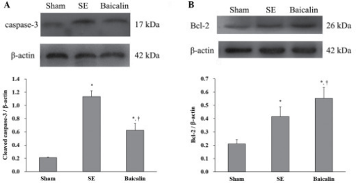 Protein expression of cleaved caspase-3 and Bcl-2 in the hippocampus. Effects of baicalin on the protein levels of (A) caspase-3 and (B) Bcl-2 at 72 h after SE as evidenced by western blots. Data are expressed as the ratio the respective proteins to β-actin internal control and are represented as mean ± standard deviation (n=6 per group). *P<0.05 vs. sham group. †P<0.05 vs. SE group. Bcl-2, B-cell lymphoma; SE, status epilepticus.