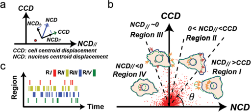 Correlations between cell and nucleus displacements can describe subcellular activities of cell migration.(a) The CN correlation data point (red dot) locates the correlation between a CCD and a coupled NCD// (projection of nucleus centroid displacement in the CCD direction) in a CCD vs. NCD// plot. (b) Four separate regions (separated by dash lines at 45°, 75°, and 105°) in the CCD-NCD// coordinate system correspond to distinct subcellular migratory activities. A cluster of red dots shown are the CN correlation data acquired from 50 NIH 3T3 fibroblasts tracked at 1-min. time intervals for 1 hour. (c) The barcode enables visualization of the sequential occurrence of CN correlations in the four regions. Regions are distinguished by red, yellow, blue, and green, respectively. Each bar represents a CN correlation data point acquired at a 1-min time interval.