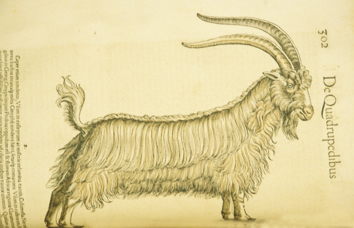 <p>Hand-colored woodcut of the goat in profile.</p>