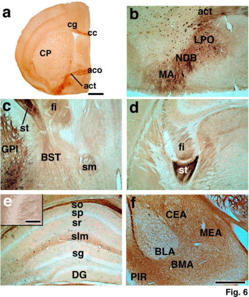 L1 immunoreactive structures in the limbic areas. a-f. Bright-field photomicrographs showing the preoptic area of the hypothalamus (a and b), bed nucleus of stria terminalis (c), stria terminalis (c and d), hippocampus (e), and amygdaloid complex (f). A higher magnification photograph of CA3 which was immunoreacted with antiFLL1 antibody is shown in the insert in (e). Note that better staining for proximal axons was found in CA3 than with antiCTL1 antibody. a: Bar = 1 mm; b-f: Bar = 500 μm; insert in e: Bar = 100 μm.